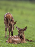 Elk Fawns, Ceruvs Elaphaus, in a Meadow Photographic Print by Norbert Rosing