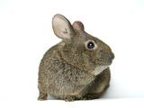 A Studio Portrait of an Endangered Volcano Rabbit, Romerolagus Diazi Photographie par Joel Sartore