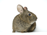 A Studio Portrait of an Endangered Volcano Rabbit, Romerolagus Diazi Photographic Print by Joel Sartore