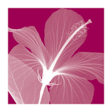 Hibiscus/White Giclee Print by Steven N. Meyers
