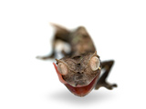 A Satanic Leaf-Tailed Gecko, Uroplatus Phantasticus Photographic Print by Joel Sartore