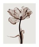 Parrot Tulips I Giclée-tryk af Steven N. Meyers