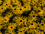 Black-Eyed Susan or Sunhat Flowers, Rudbeckia Species, in Bloom Photographie par Norbert Rosing