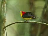 The Wire-Tailed Manakin, on His Display Perch, Courts a Female Photographic Print by Tim Laman