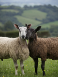 Blue Faced Leicester Sheep Selected and Adapted for Local Condition Fotoprint van Jim Richardson