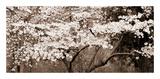 Cherry Blossoms (Sepia) Reproduction procédé giclée par Steven N. Meyers