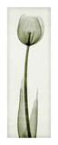 Tulipa II Giclée-tryk af Steven N. Meyers