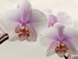 Close Up of Phalaenopsis Orchid Blossoms Papier Photo par Darlyne A. Murawski