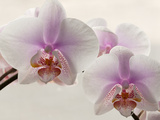 Close Up of Phalaenopsis Orchid Blossoms Fotografisk tryk af Darlyne A. Murawski