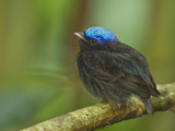 The Blue-Crowned Manakin Does Not Produce Any Wing Sounds Photographic Print by Tim Laman