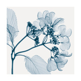 Hydrangeas - Positive (Left) Giclee Print by Steven N. Meyers
