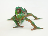 A Panther Chameleon, Furcifer Pardalis Photographic Print by Joel Sartore
