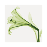 Lilies B (Positive) Giclee Print by Steven N. Meyers