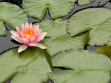 Floating Water Lily Flower and Lily Pads, Nymphaea Species Papier Photo par Darlyne A. Murawski