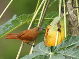 A Female White-Lined Tanager, Tachyphonus Rufus, Eating a Papaya Photographic Print by George Grall
