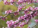 Flowering Branches of Eastern Redbud, Ceris Canadensis, in Spring Photographic Print by Darlyne A. Murawski