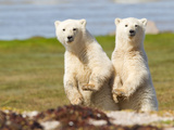 A Pair of Polar Bear Cubs, Ursus Maritimus Papier Photo par Roy Toft