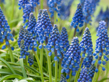 Close View of Grape Hyacinth Flowers, Muscari Species, in Springtime Photographic Print by Darlyne A. Murawski