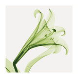 Lilies A (Positive) Giclee Print by Steven N. Meyers