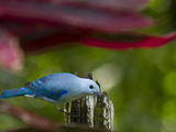 A Blue-Gray Tanager Pauses for a Photo in a Botanical Garden Photographic Print by Michael Melford