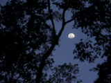 View of the Moon Through Trees in the Evening Photographic Print by Tim Laman