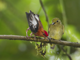 A Male Club-Winged Manakin Attracts a Female with His Sound Photographic Print by Tim Laman