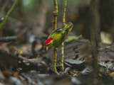 The Striped Manakin Makes a Simple Buzzing Sound with its Wings Photographic Print by Tim Laman