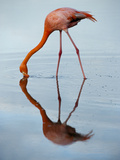 An American Flamingo and its Mirror Reflection in Blue Water Stampa fotografica di Sartore, Joel