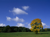 Norbert Rosing - A Sycamore Tree, in Autumn Colors in a Meadow under a Blue Sky Fotografická reprodukce