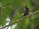A Male Golden-Headed Manakin Moves its Wings Silently Photographic Print by Tim Laman