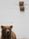 Adult Brown Bear with Juvenile Cubs Swimming in the Background Photographic Print by Roy Toft