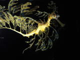 Leafy Sea Dragon Fish, Phycodurus Eques Photographic Print by Kike Calvo