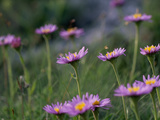 Alpine Asters, Aster Alpinus, in Bloom Photographic Print by Norbert Rosing