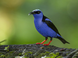 A Red-Legged Honeycreeper Perched on a Tree Branch in a Garden Photographic Print by Michael Melford