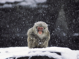 A Snow Monkey in Captivity Photographic Print by Kike Calvo
