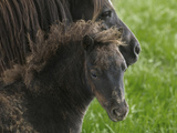 Shetland Ponies on the Lush Rolling Hills of Mid-Wales Photographic Print by Jim Richardson