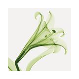 Steven N. Meyers - Lilies A (Positive) Digitálně vytištěná reprodukce