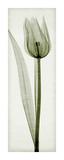 Tulipa I Giclée-tryk af Steven N. Meyers