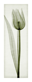 Tulipa I Giclee Print by Steven N. Meyers