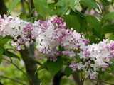 Close Up of a Flowering Lilac Shrub, Syringa Species, in Springtime Photographic Print by Darlyne A. Murawski