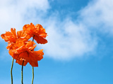 Orange Flowers Against a Blue Sky with Fluffy Clouds Photographic Print by Heather Perry