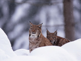 A Pair of Captive Eurasian Lynxes, Lynx Lynx, in a Snow Shower Photographic Print by Norbert Rosing