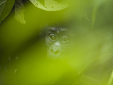 A Mountain Gorilla in Bwindi Impenetrable Forest Photographic Print by Joel Sartore
