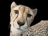 Hasari, a Three-Year-Old Cheetah, Acinonyx Jubatus Fotografisk trykk av Joel Sartore