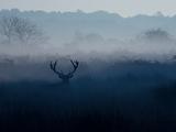 A Red Deer, Cervus Elaphus, in the Autumn Mist Photographic Print by Alex Saberi