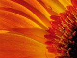 Close Up of a Orange Gerbera Daisy, Gerbera Species Fotografie-Druck von Darlyne A. Murawski