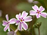 Close Up of Flowering Candy Stripe Creeping Phlox, Phlox Subulata Photographic Print by Darlyne A. Murawski