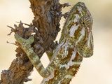 The Socotra Chameleon, Chamaeleo Monachus, Is Found Solely on Socotra Photographic Print by Michael Melford