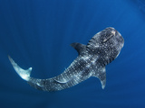 A Remora on the Head of a Whale Shark Fotografisk tryk af Mauricio Handler