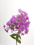 Studio Portrait of Phlox Flowers Photographic Print by Joel Sartore